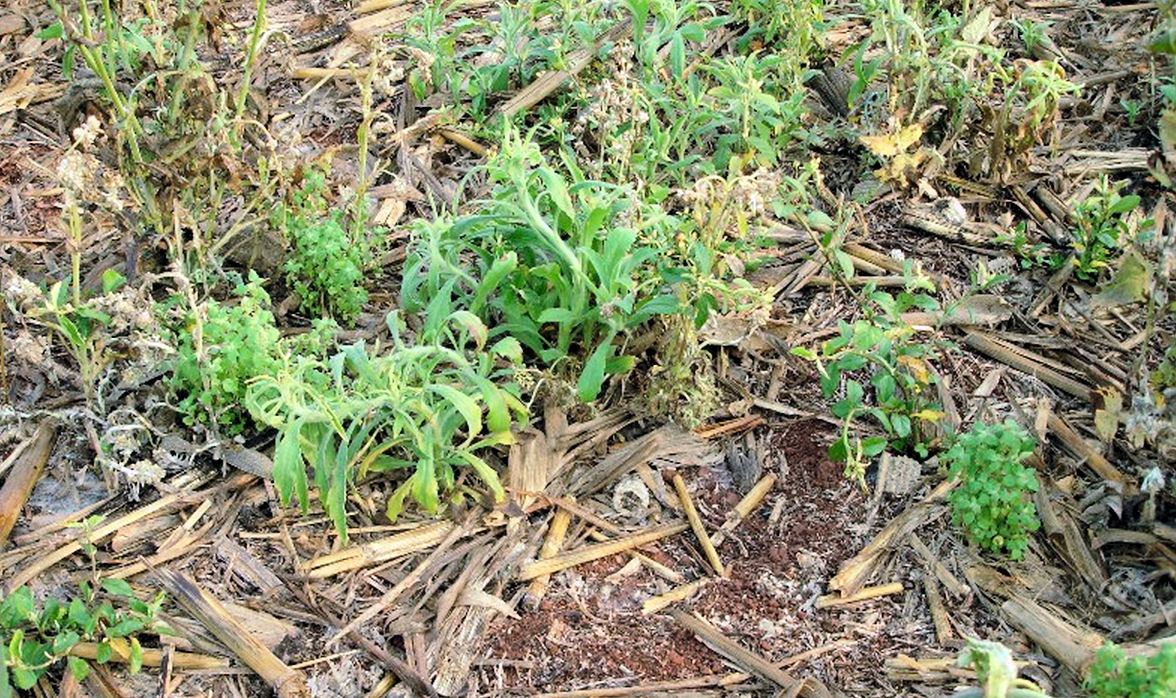 Glyphosate resistant weeds after a burndown spray