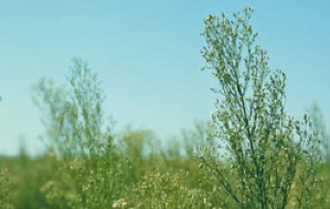 Conyza canadensis (horseweed): a broadleaved weed with resistance to glyphosate