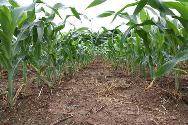 Fast and effective weed control by paraquat means higher yields and more profit