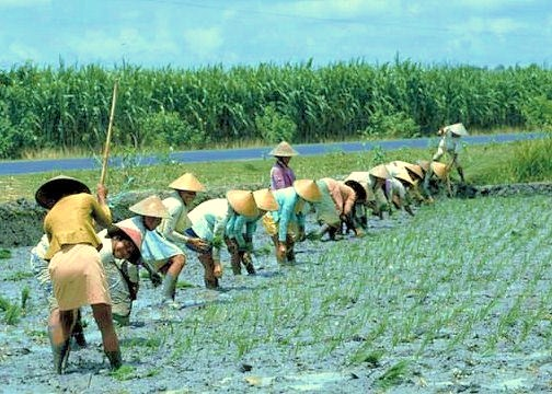 Rice planting in weed-free paddy