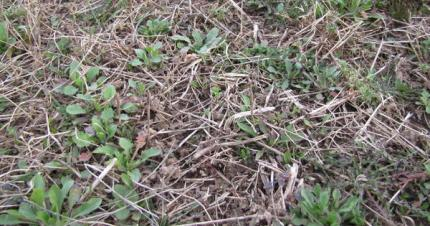 Paraquat for pre-plant burndown:  clean fields mean good yields